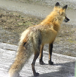 red-fox-on-deck