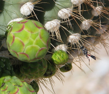 Wasp among the saguaro buds