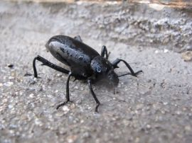 Darkling beetle — 3 of them popped up out of a crack in the concrete when it rained