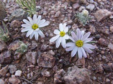 Mojave desertstar