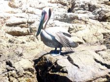 Brown Pelican (Pelecanus occidentalis) Breeding Adult